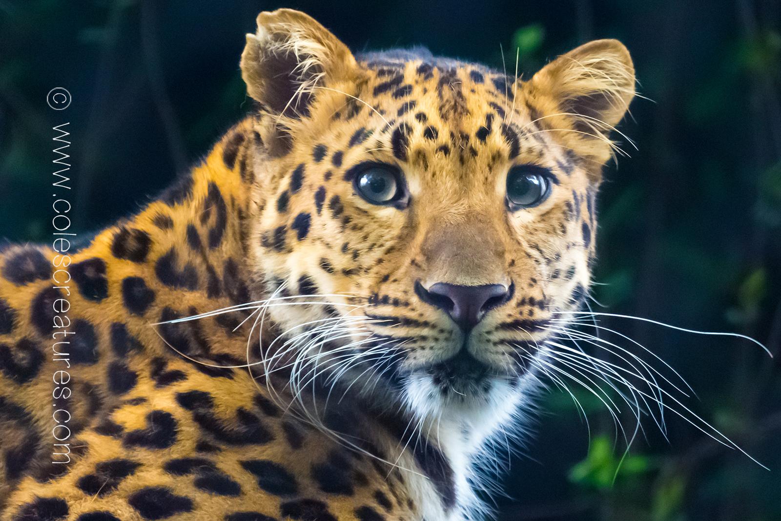 leopard-wallpaper