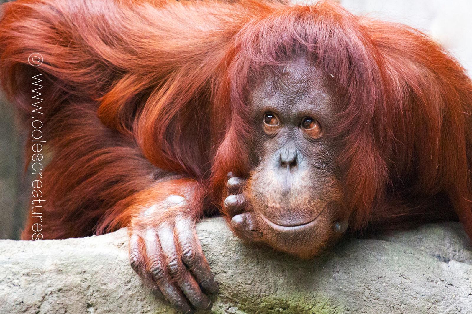 orangutan-background