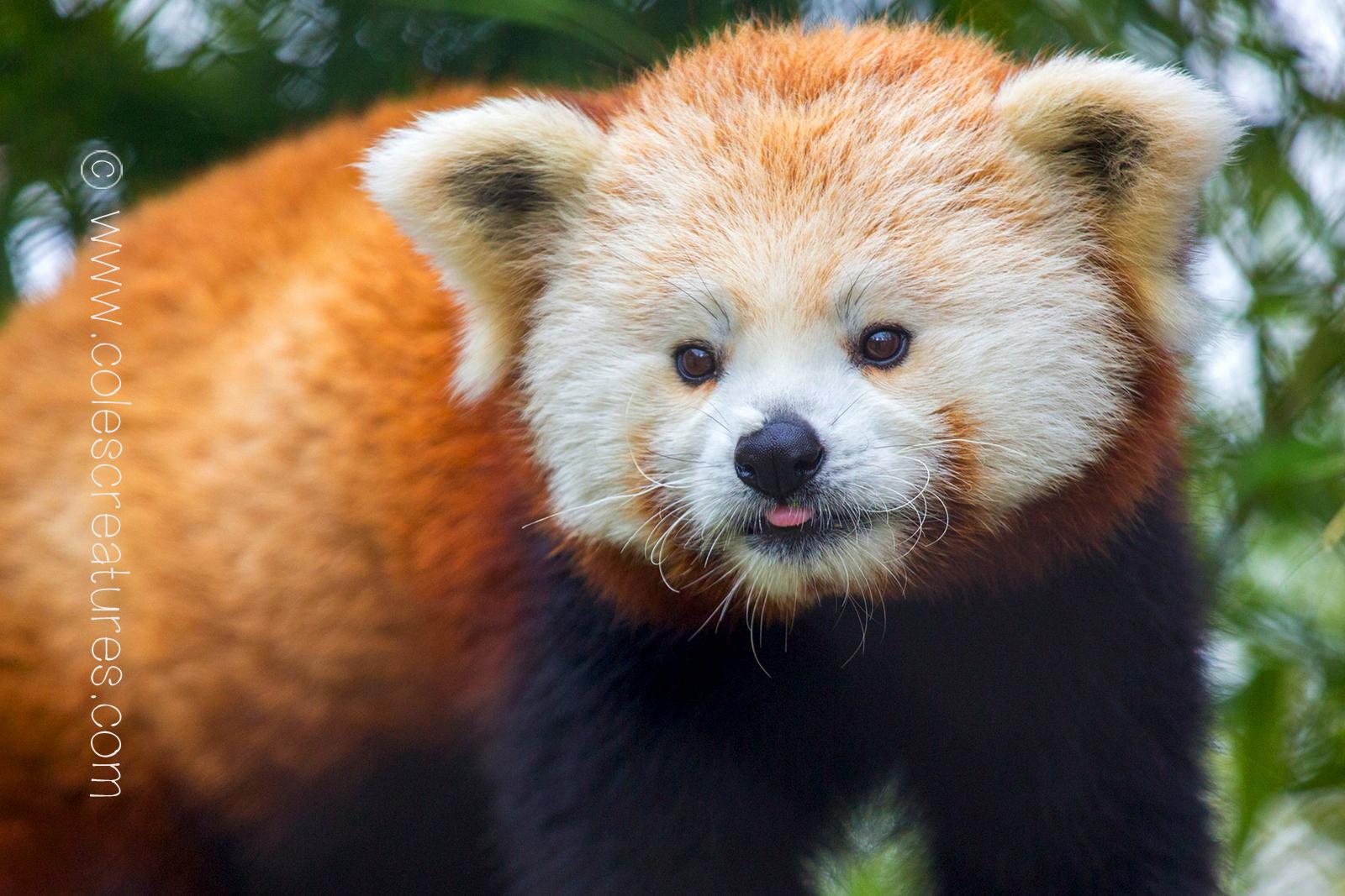 red-panda-background