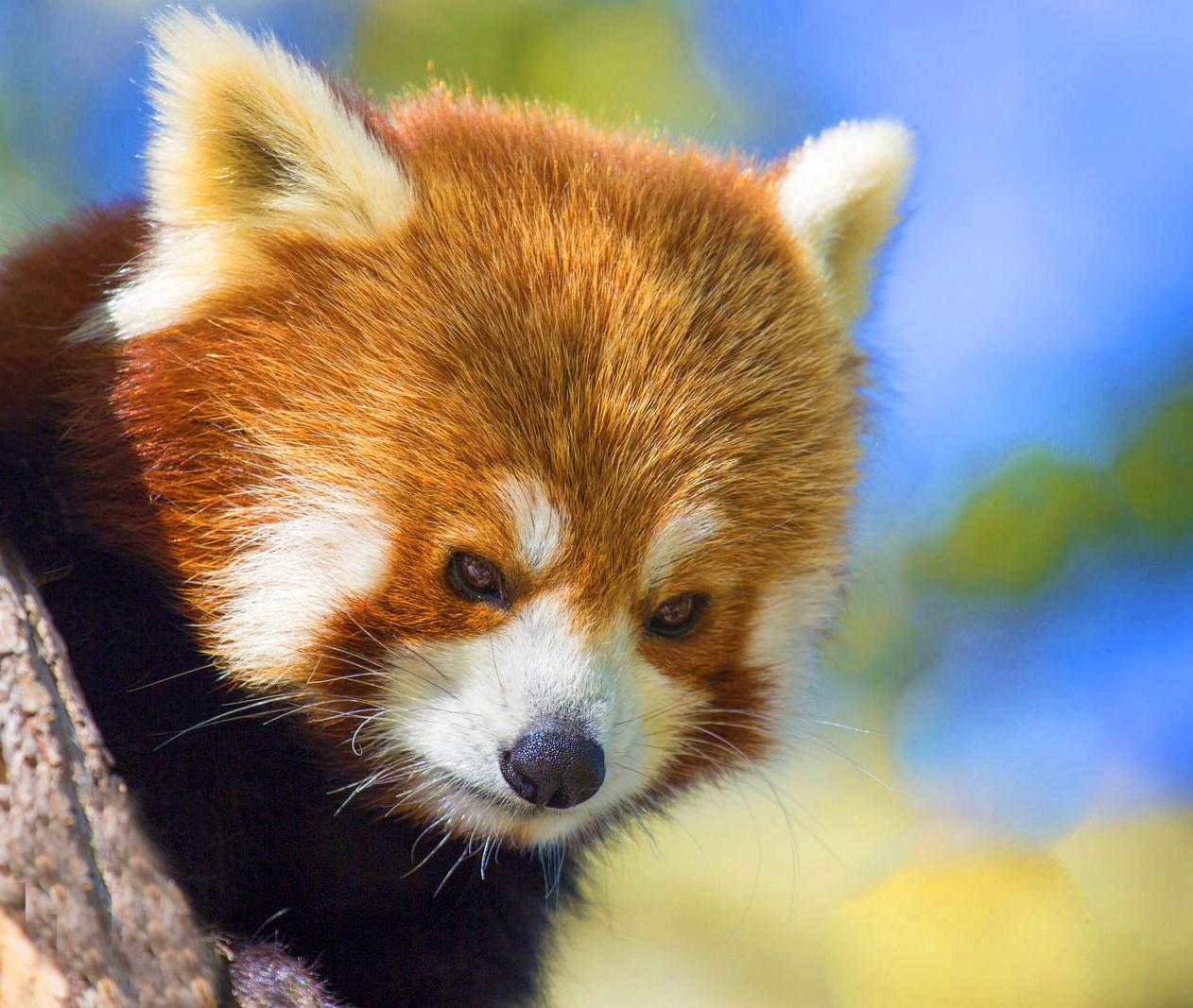 red panda thumb